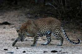"""مقتل حيوان نادر بسريلانكا بسبب """"الغضب"""""""