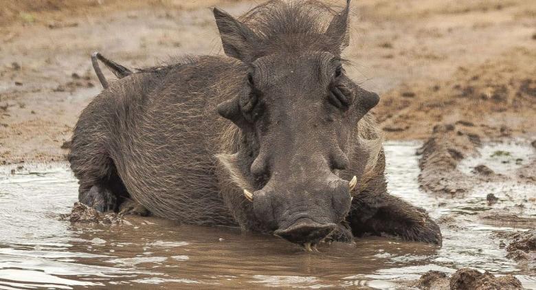 قطيع من الخنازير البرية يقتل امرأة أمريكية