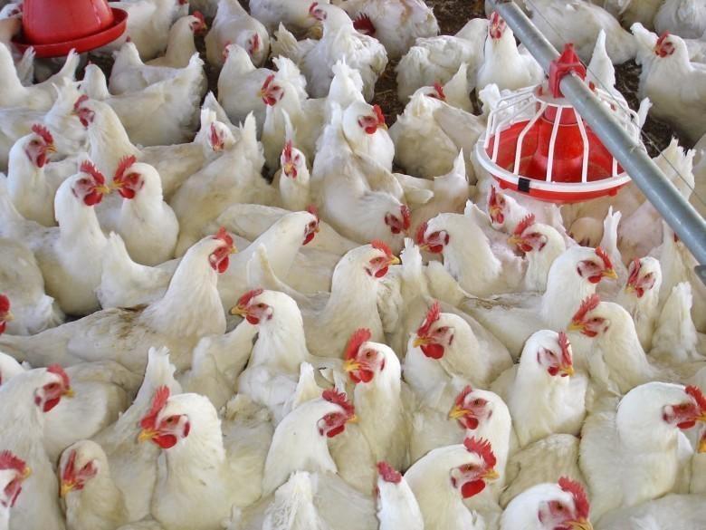 أسعار الدجاج اليوم الثلاثاء في غزة