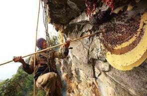 صيد العسل البري في جبال النيبال