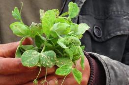 """""""الزراعة"""" تفند ادعاءات الاحتلال بشأن رش المبيدات شرق القطاع"""