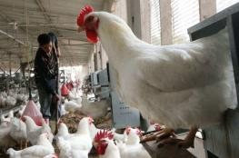"""غزة: """"الاقتصاد"""" تحدد سعر كيلو الدجاج"""