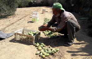 غزة:موسم قطف