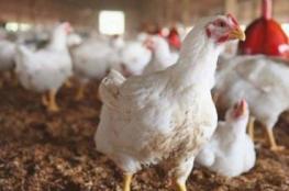 تعرف على أسعار الدجاج في أسواق غزة صباح اليوم
