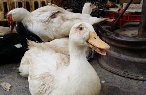 الطيور في سوق رفح الأسبوعي