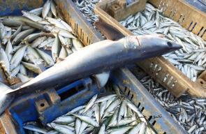 كميات محدودة من السمك رغم توسيع مساحة الصيد ببحر غزة