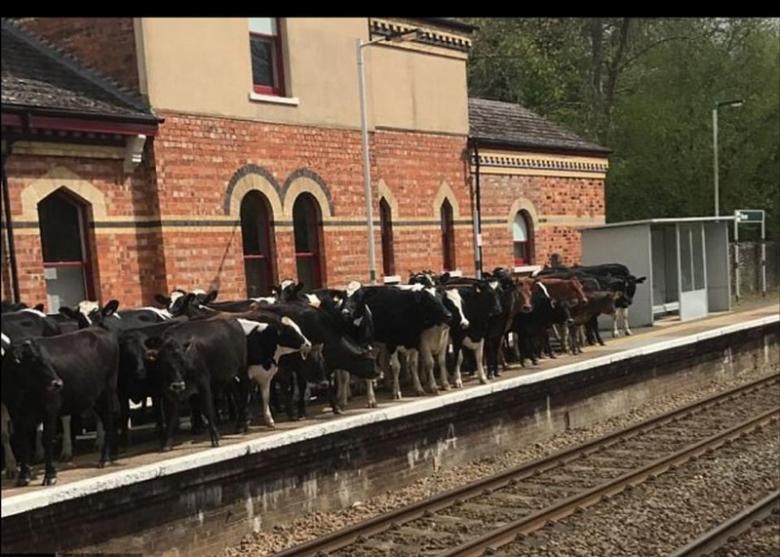 قطيعٌ من الأبقار يؤخر مسافرين