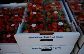 موسم قطف ثمار الفراولة في مدينة بيت لاهيا