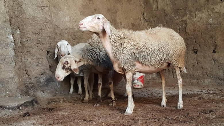 ضبط 94 رأس غنم مصابة بالحمى ببيت لحم