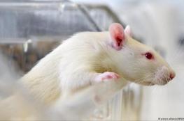 الخلايا الجذعية توفر رؤية جزئية لفئران عمياء