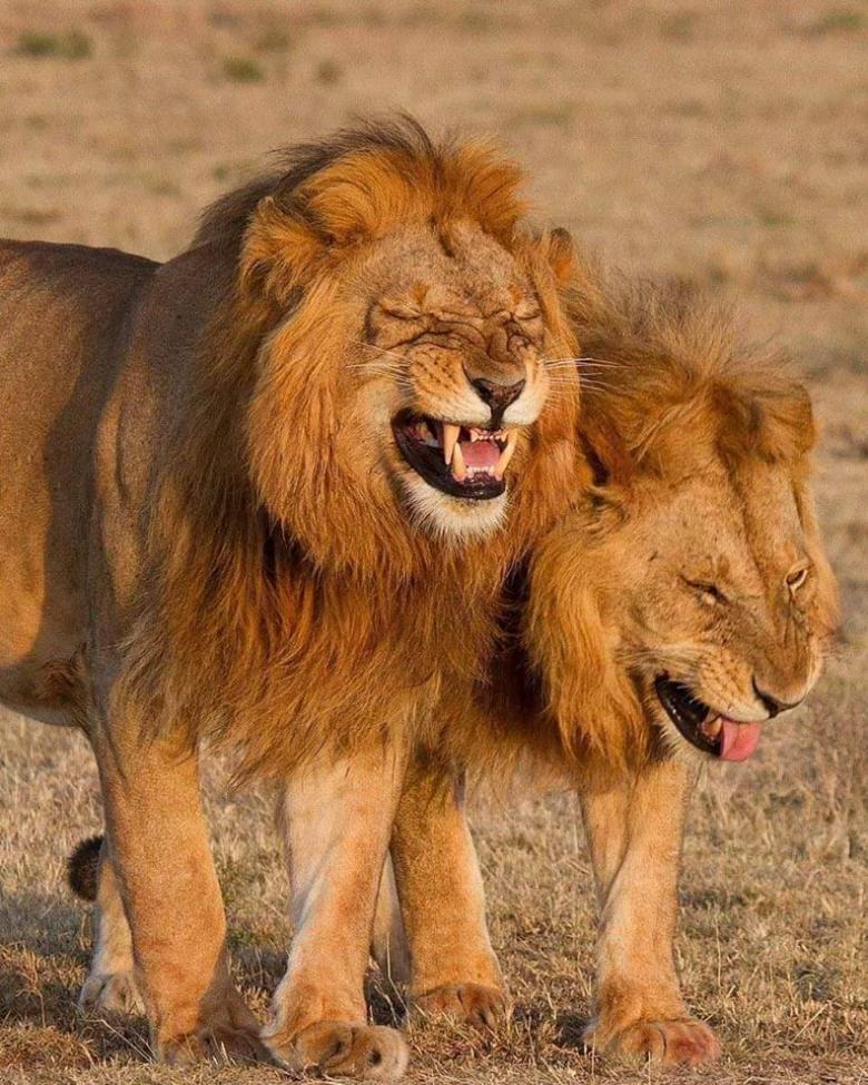 ضحكة أسدين تثير موجة من السخرية