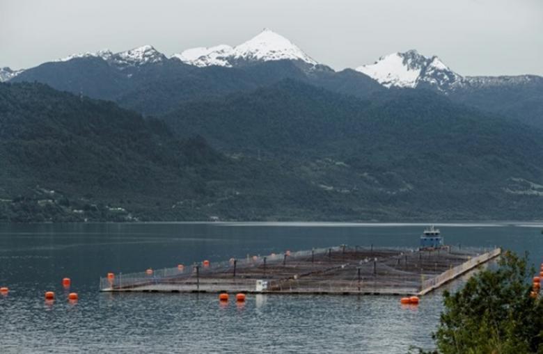 أكثر من 30 ألف سمكة سلمون تفر من مزرعة في تشيلي
