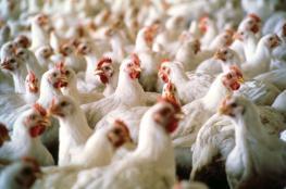 أبو لبن: الأسبوع الحالي سيشهد استقرار أسعار الدجاج بالضفة