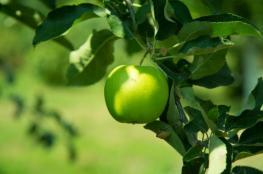 فوائد التفاح الأخضر للبشرة والقلب والتنحيف