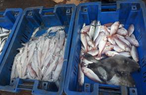 سمك غزة صباح اليوم