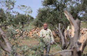 أهالي قرية مخماس يتفقدون أشجار الزيتون التي دمرها المستوطنون