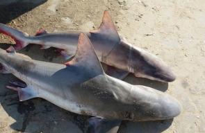 صيد أسماك القرش بوفرة في غزة