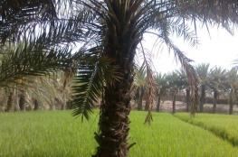عمرها 2000 سنة.. علماء ينجحون بإنبات بذور شجرة نخيل كانت تزرع بفلسطين