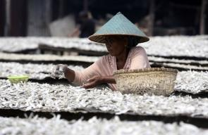 صيادون يرتبون أسماك مملحة للتجفيف بجاكرتا