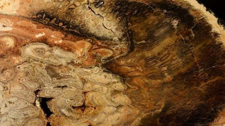 العثور على أقدم شجرة عمرها 32 مليون سنة