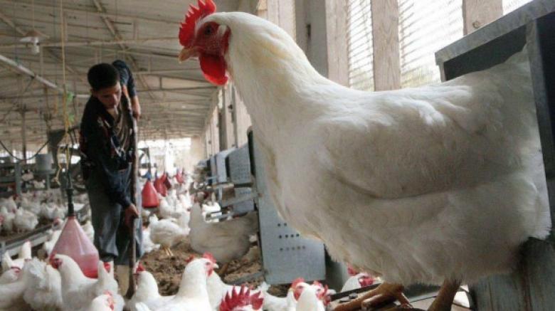 تعرف على أسعار الدجاج في السوق المحلي بغزة