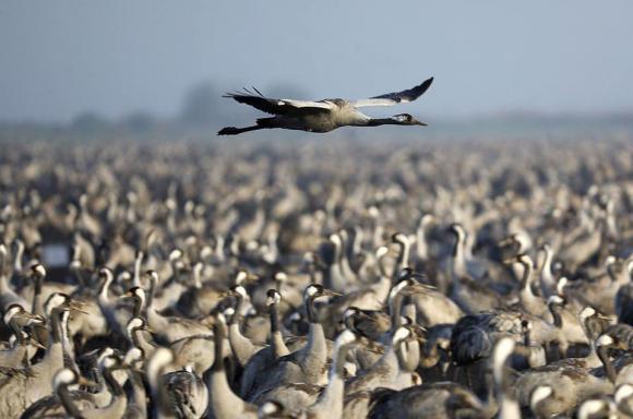 أسراب كبيرة من الطيور المهاجرة في وادة الحولة بالجليل