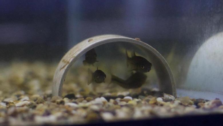 الأسماك تطلق مواد كيميائية لتحذير السرب من المفترسات