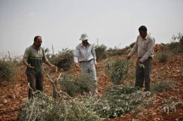 الاحتلال يقطع عشرات أشجار الزيتون بسلفيت