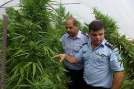 الشرطة تضبط 2600 شتلة مخدرة جنوب الخليل