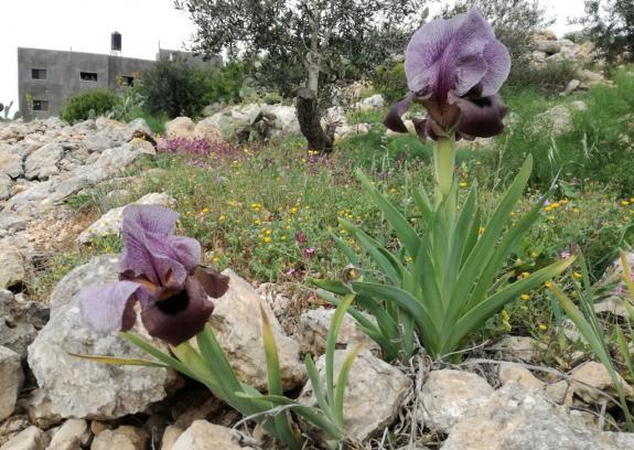 سوسن فقوعة..  نبتة فلسطين الوطنية