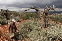 مستوطنون يقطعون 20 شجرة زيتون شرق رام الله