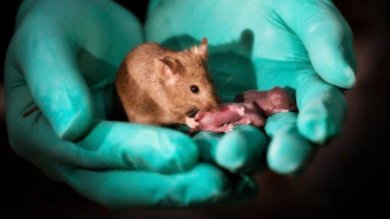 فأرتان تنتجان صغارا دون الحاجة لذكر