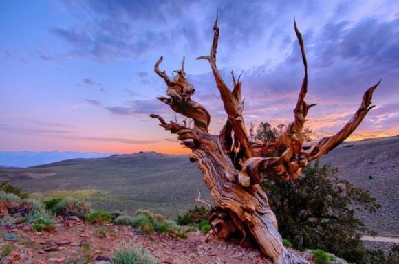 أقدم 10 أشجار حية في العالم