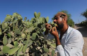 حصاد فاكهة التين الشوكي المعروف محلياً بـ