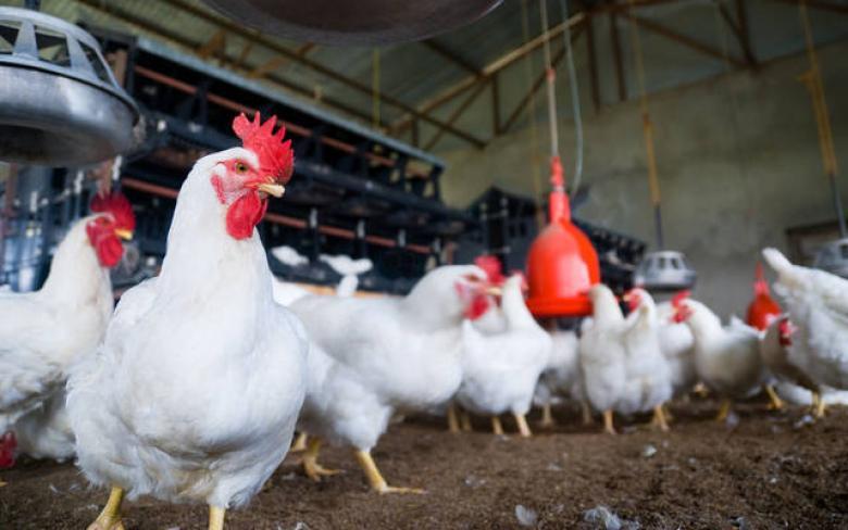 الزراعة تتخذ أول قرار بعد ارتفاع أسعار الدجاج في غزة