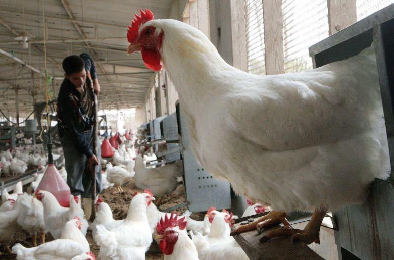 كيف ستكون أسعار الدجاج في شهر رمضان؟