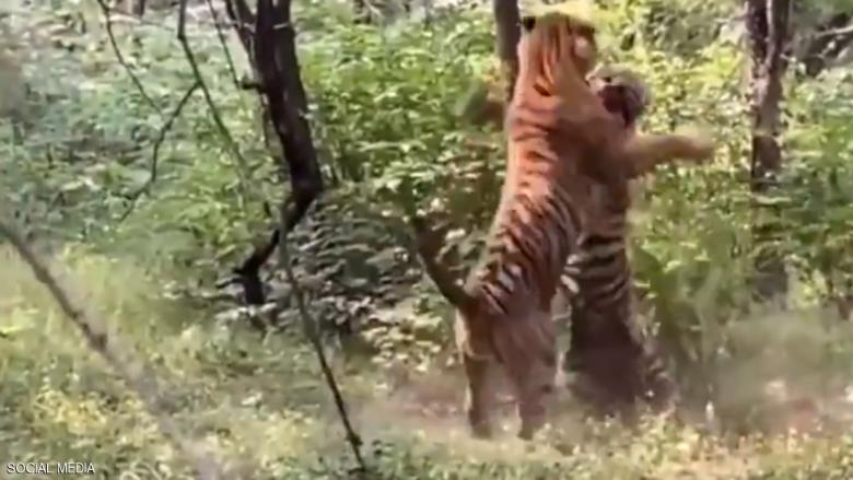 """النمر والأنثى.. معركة دامية بين """"وحشين"""" من أجل الجنس اللطيف"""