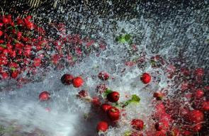 أجواء خاصة تخيم على مدينة عثمانية مع بداية موسم حصاد الفجل