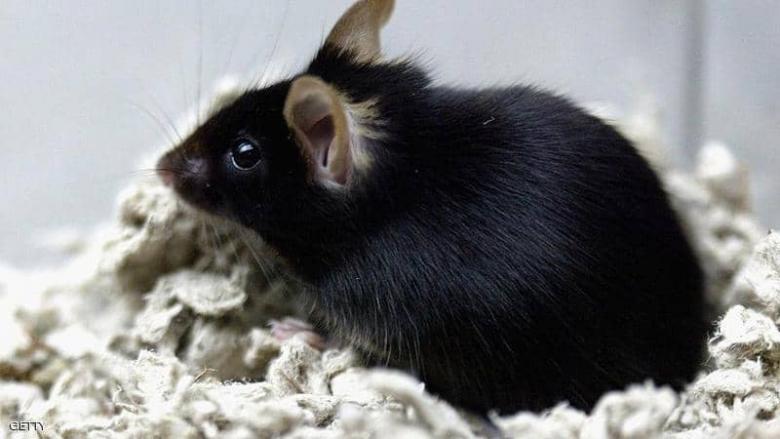 فيروس كورونا يفتك بالآلاف من فئران التجارب