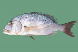 عودة سمكة مجمدة إلى الحياة