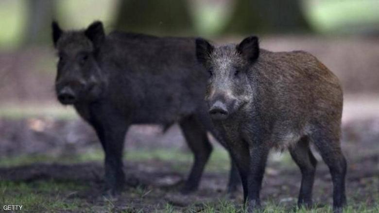 بؤرة جديدة لحمى الخنازير الأفريقية في الصين