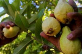 سعر كرتونة الجوافة 300 شيكل !