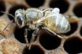 علماء يحذرون من تفشي فيروس قاتل يهدد النحل