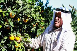 """""""الزراعة"""" تفتتح موسم """"الحمضيات"""" بغزة"""