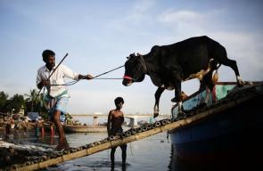 تفريغ أضاحي العيد من قوارب في بنغلاديش استعدادا لذبحها في عيد الأضحى