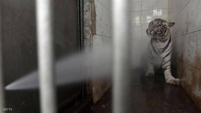 """نمر نادر يهاجم حارسة جمعته """"صدفة سيئة"""" بها"""