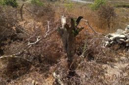 مستوطنون يقطعون عشرات أشجار الزيتون في سلفيت