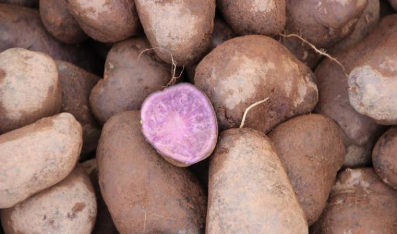البطاطس الأرجوانية تقي من سرطان القولون