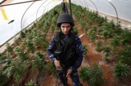 """ضبط 70 شتلة """"مارجوانا"""" مخدرة في يطا"""
