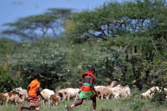 الجراد يغزو كينيا ويدمر المحاصيل الزراعية وهاجم الحياة البشرية.